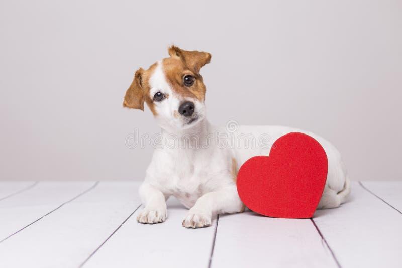 Retrato de un pequeño perro joven lindo que se sienta en el piso y que mira curioso la cámara Corazón rojo al lado de él Piso bla fotografía de archivo