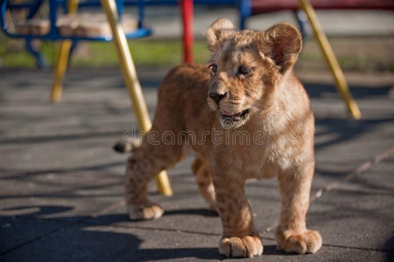 Retrato de un pequeño y hermoso cachorro de león en el zoológico foto de archivo libre de regalías