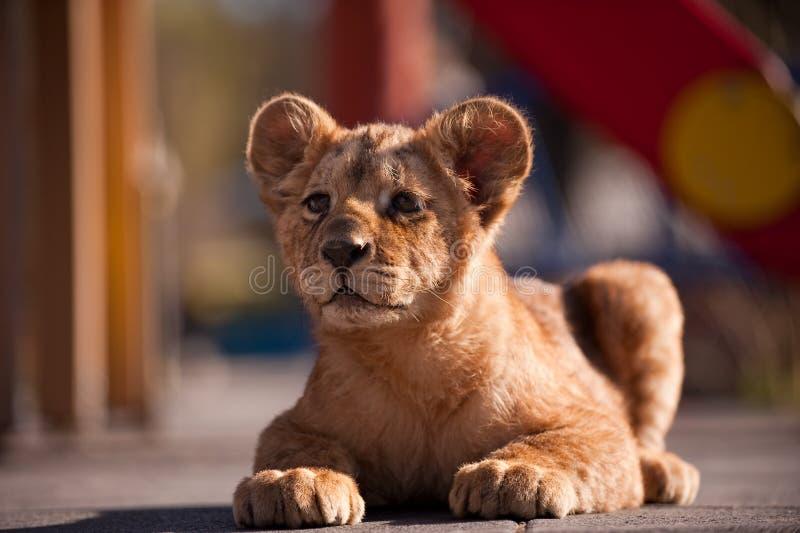 Retrato de un pequeño y hermoso cachorro de león en el zoológico imagenes de archivo