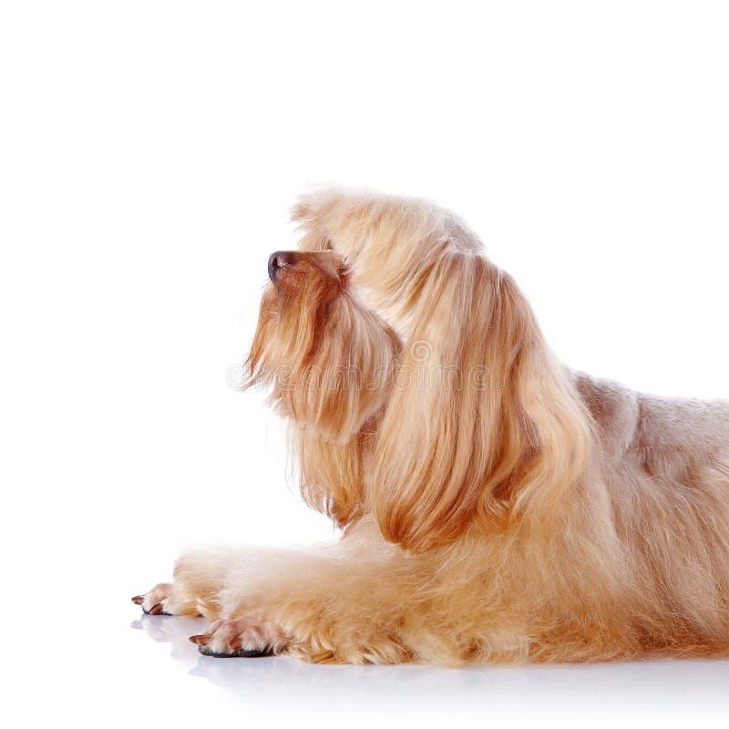 Retrato de un perrito decorativo beige. fotografía de archivo