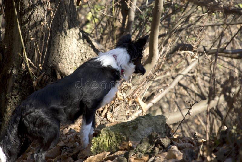 Retrato de un perrito del border collie en el bosque fotografía de archivo libre de regalías