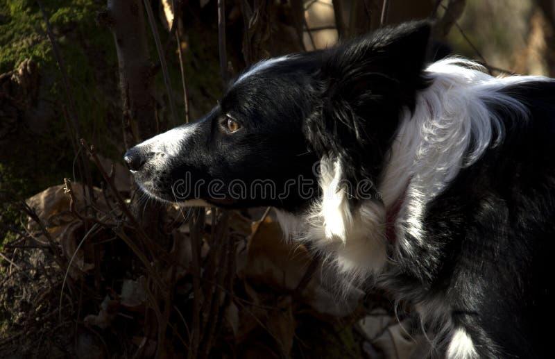 Retrato de un perrito del border collie en el bosque fotos de archivo