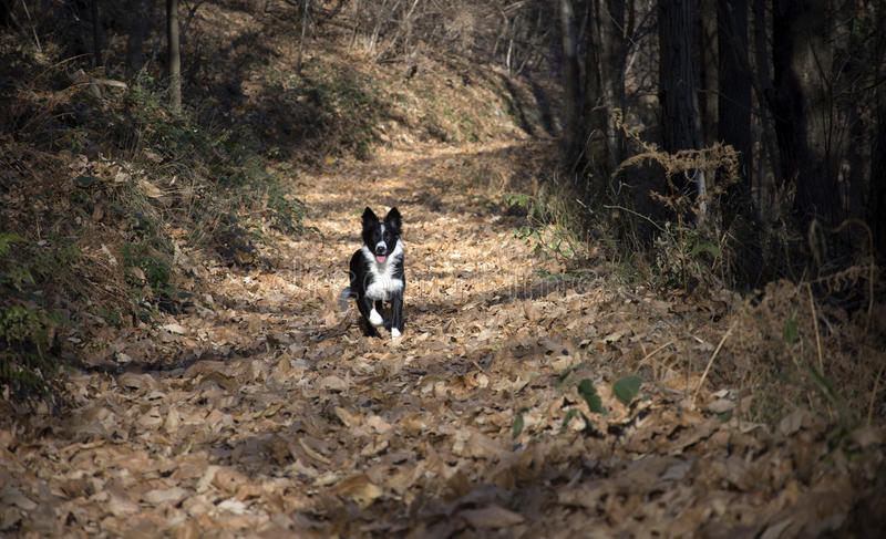 Retrato de un perrito del border collie en el bosque imagen de archivo