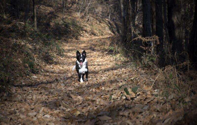 Retrato de un perrito del border collie en el bosque imagenes de archivo