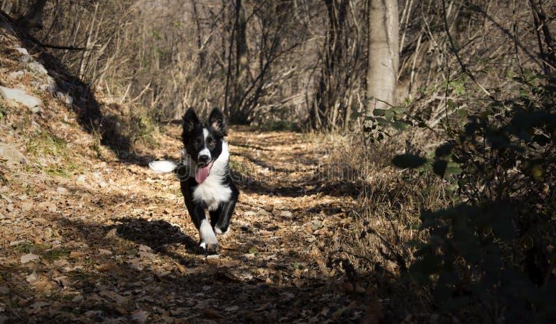Retrato de un perrito del border collie en el bosque foto de archivo