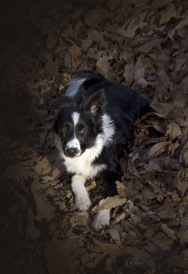 Retrato de un perrito del border collie en el bosque fotos de archivo libres de regalías