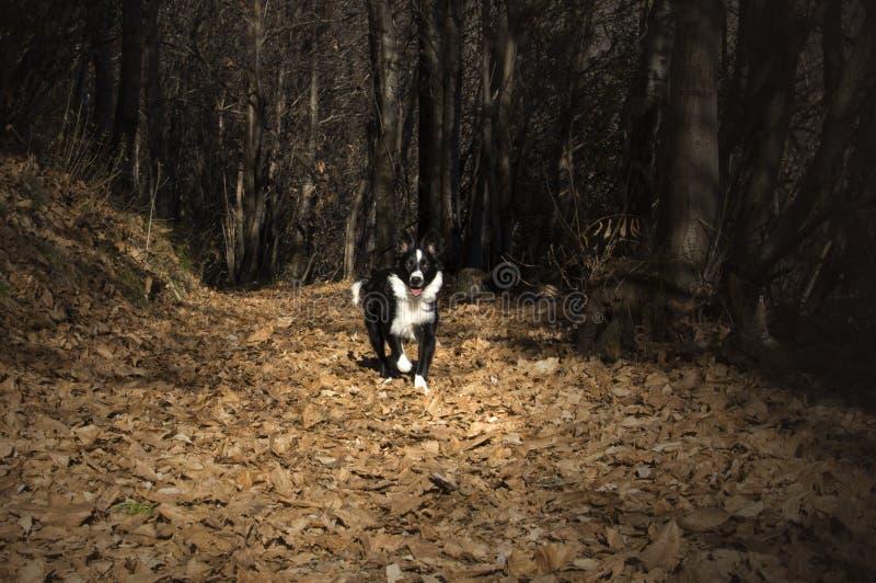 Retrato de un perrito del border collie en el bosque foto de archivo libre de regalías