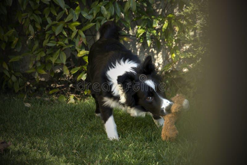 Retrato de un perrito del border collie en el jardín fotos de archivo libres de regalías