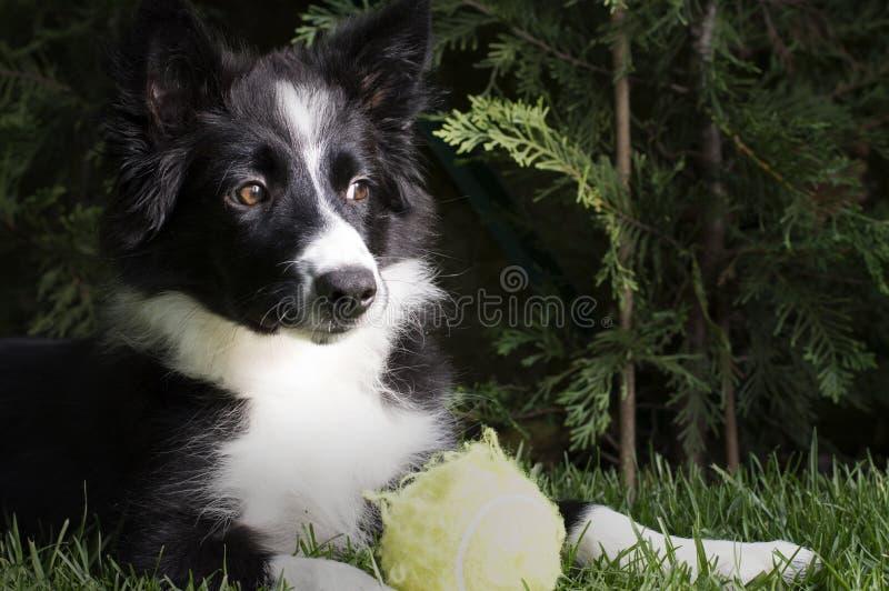 Retrato de un perrito del border collie en el jardín imagen de archivo