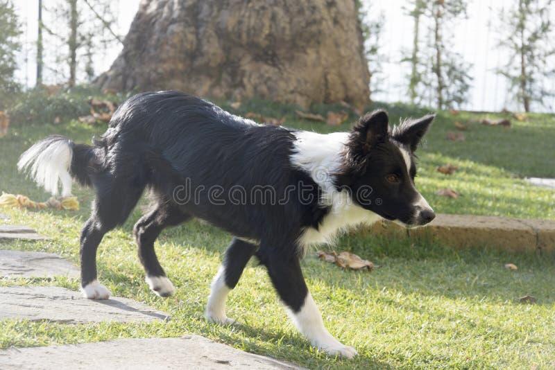 Retrato de un perrito del border collie en el jardín fotografía de archivo