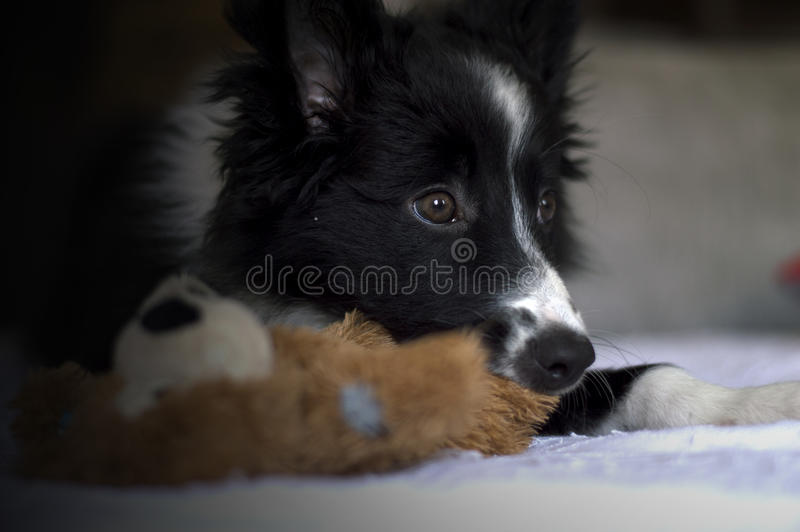 Retrato de un perrito del border collie en el sofà foto de archivo