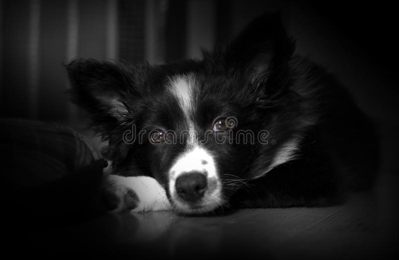 Retrato de un perrito del border collie que presenta la jaula de la pizca fotos de archivo libres de regalías