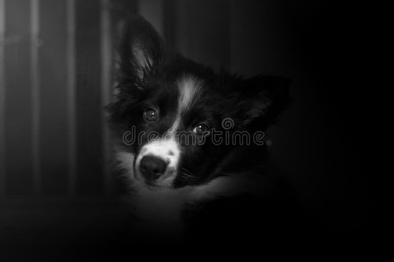 Retrato de un perrito del border collie que presenta la jaula de la pizca foto de archivo libre de regalías