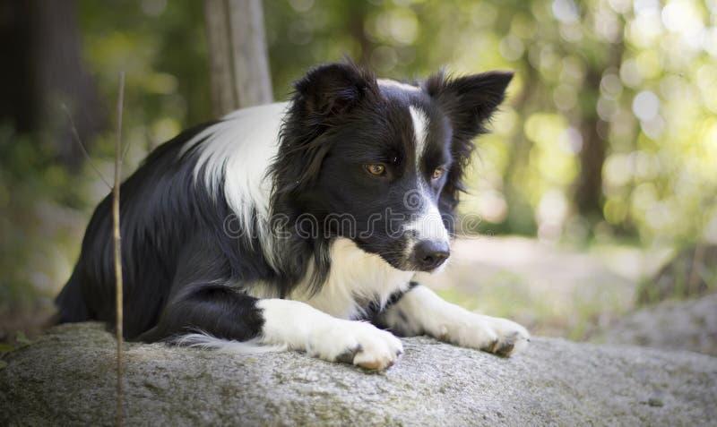 Retrato de un perrito del border collie que se relaja entre rocas fotografía de archivo