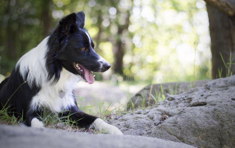 Retrato de un perrito del border collie que se relaja entre rocas fotos de archivo libres de regalías