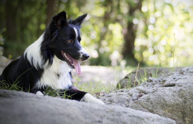 Retrato de un perrito del border collie que se relaja entre rocas imágenes de archivo libres de regalías