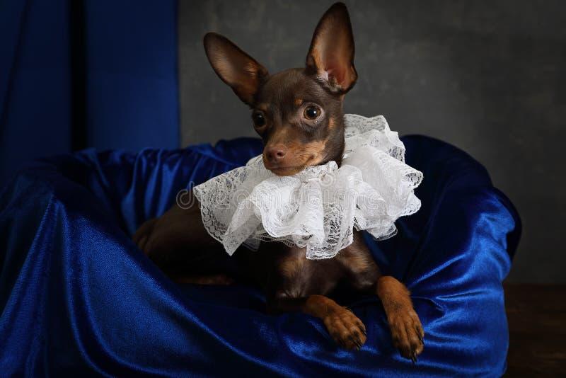 Retrato de un perrito del terrier de juguete vestido en un volante imagen de archivo