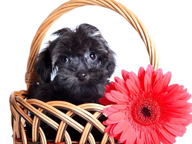 Retrato de un perrito en una cesta wattled con una flor roja. imagenes de archivo