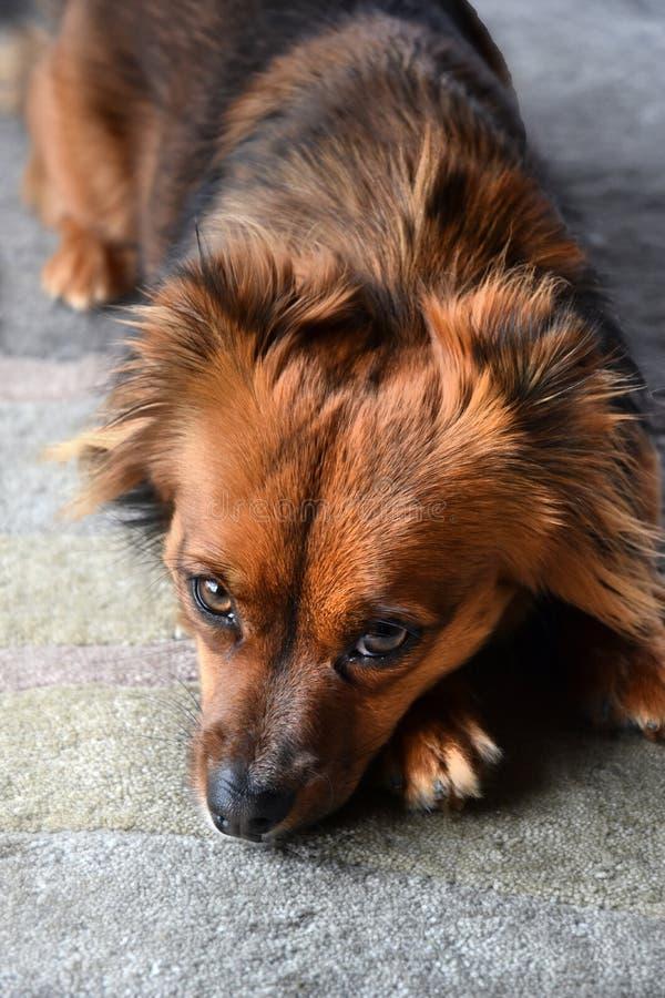 Retrato de un perrito mestizo cansado fotos de archivo