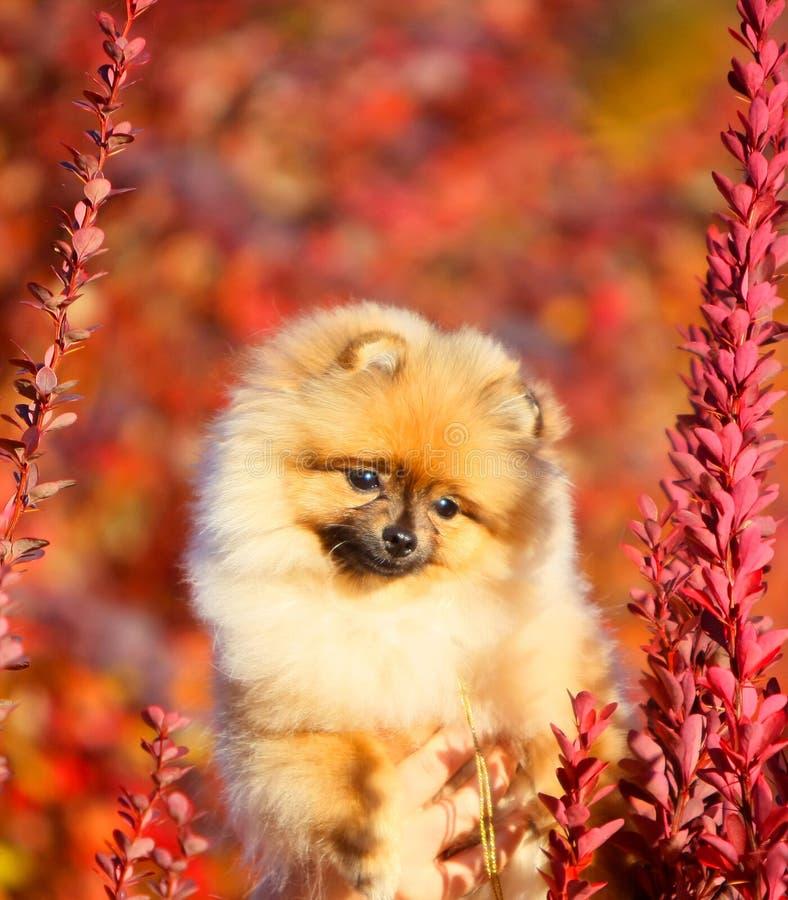 Retrato de un perrito mullido rojo Primer pomeranian alemán lindo imágenes de archivo libres de regalías