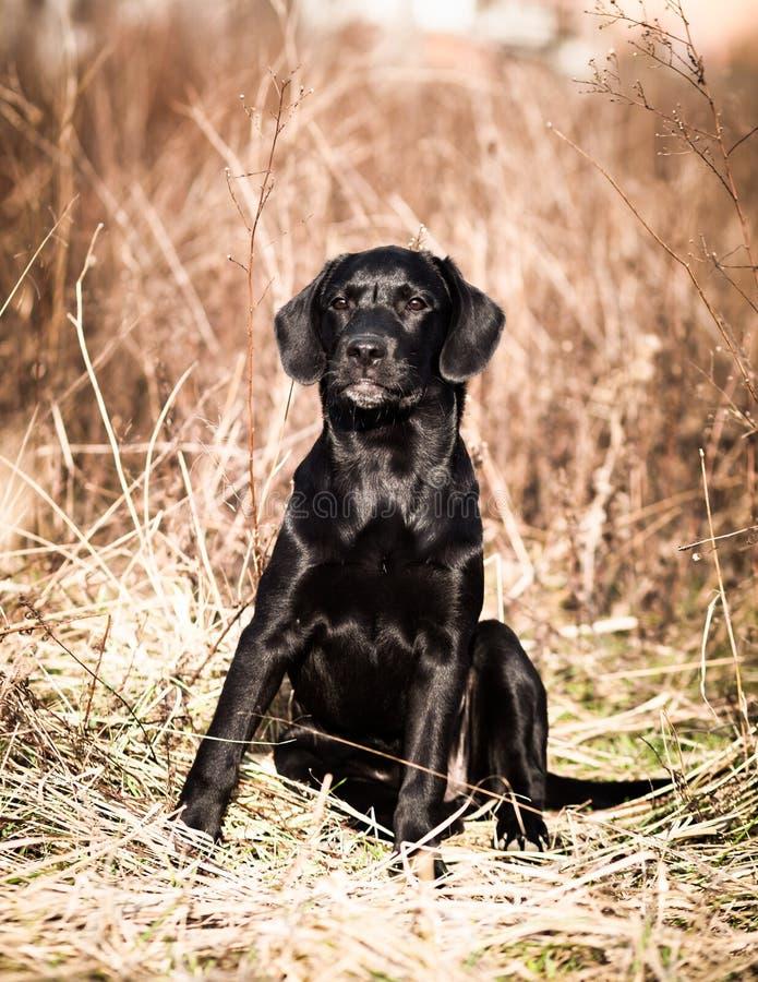 Retrato de un perrito negro joven de Labrador fotos de archivo libres de regalías