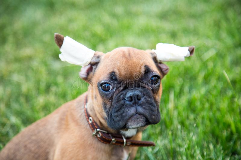 Retrato de un perrito tres-mes-viejo del dogo con una mirada que pregunta imagen de archivo