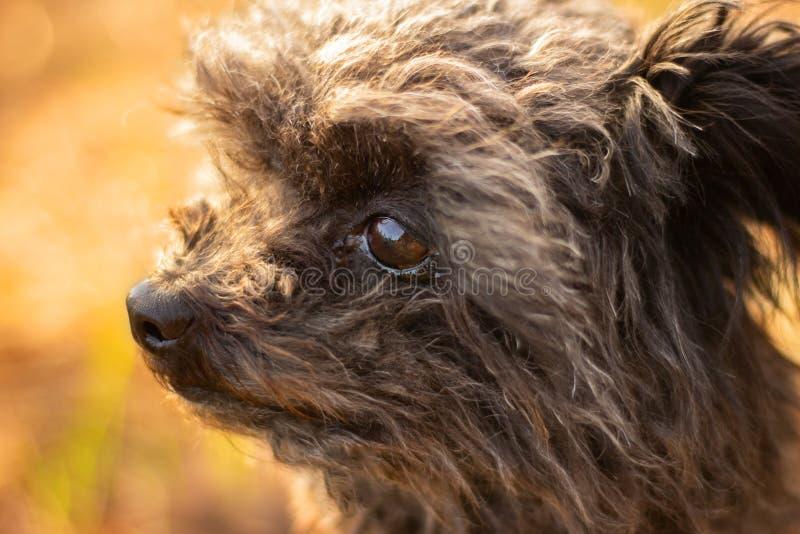 Retrato de un perro, perro boloñés imagenes de archivo