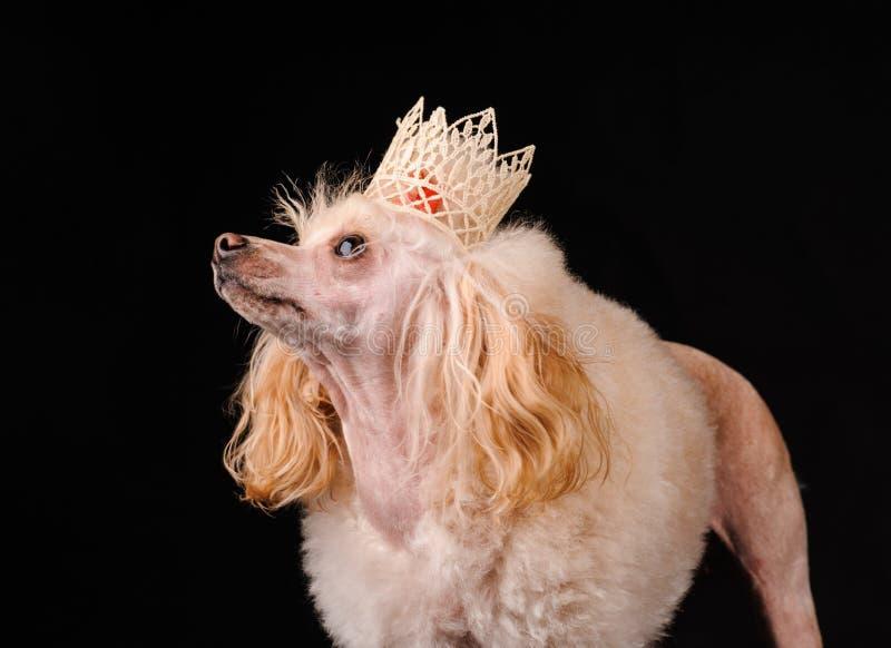 Retrato de un perro bonito en un fondo negro foto de archivo libre de regalías