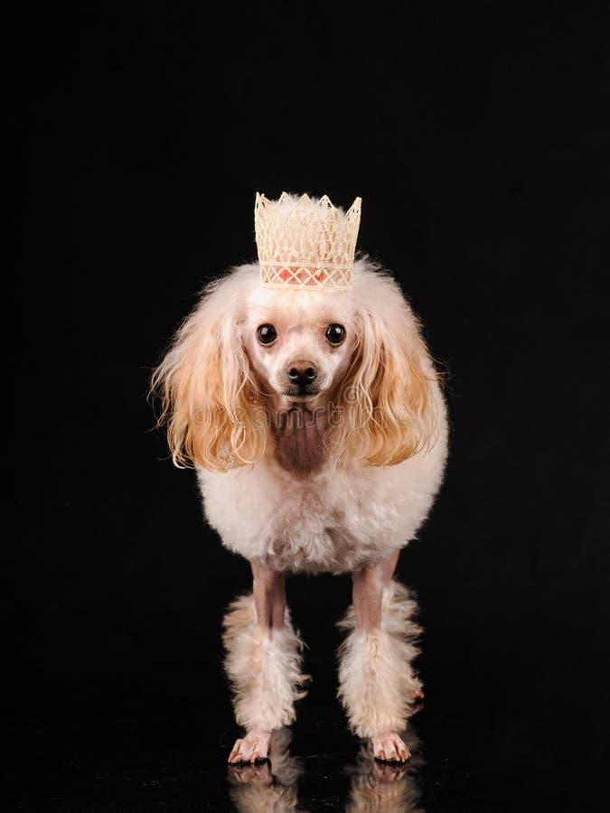 Retrato de un perro bonito en un fondo negro fotografía de archivo