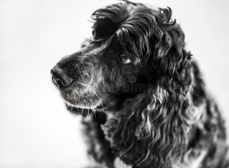 Retrato de un perro de cocker spaniel foto de archivo libre de regalías