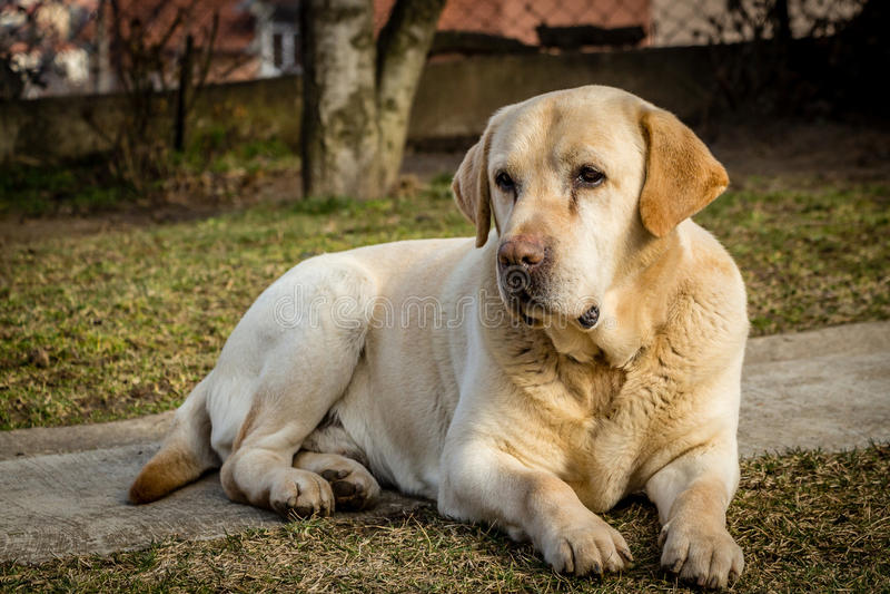 Retrato de un perro de Labrador fotos de archivo libres de regalías