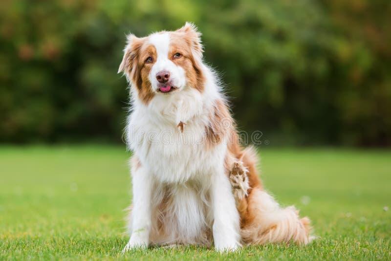 Retrato de un perro de pastor australiano imagen de archivo