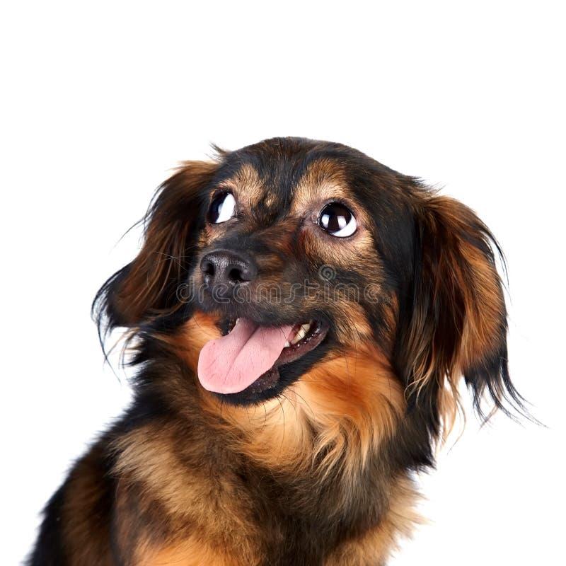 Retrato de un perro decorativo foto de archivo libre de regalías