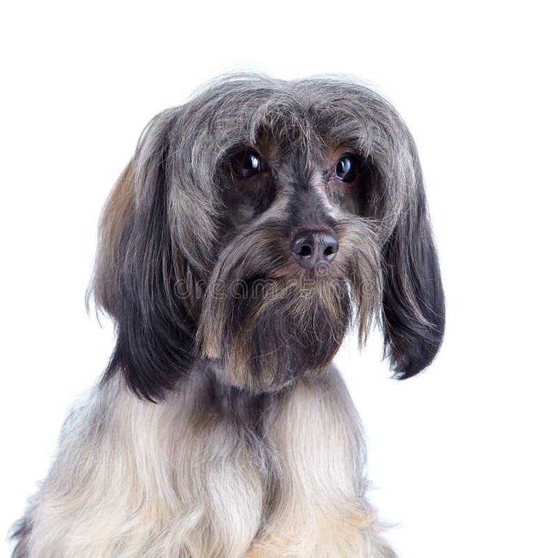 Retrato de un perro decorativo. fotografía de archivo