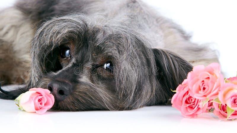 Retrato de un perro decorativo con las rosas. imagen de archivo libre de regalías