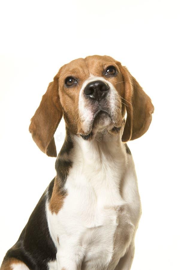 Retrato de un perro del beagle que parece para arriba aislado en un fondo blanco en una imagen vertical imagen de archivo