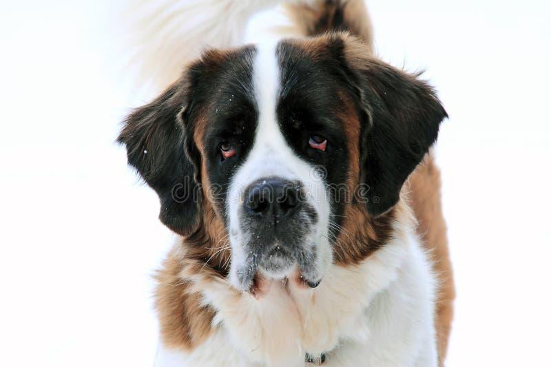 Retrato de un perro del bernard del santo fotografía de archivo libre de regalías