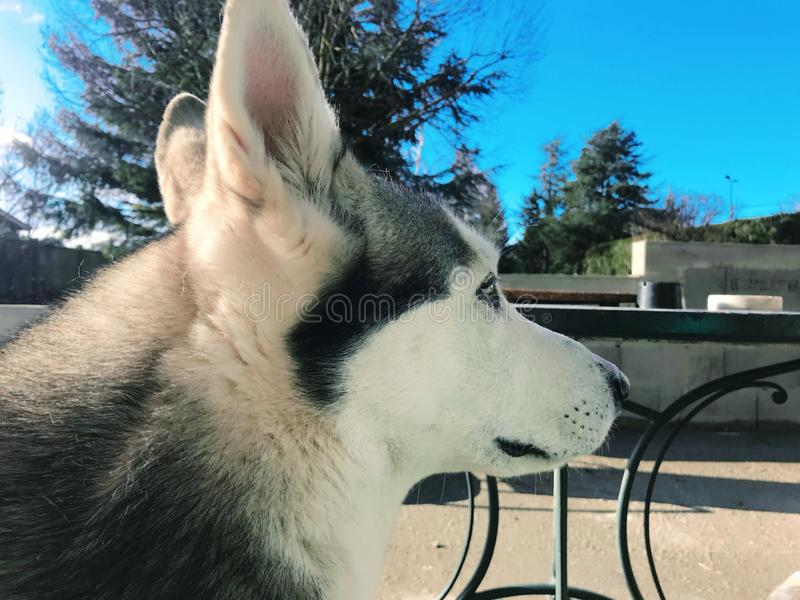 retrato de un perro del lobo con un cielo azul en el fondo imagen de archivo libre de regalías