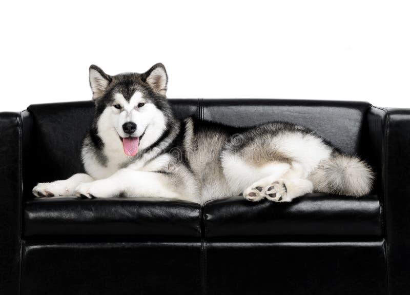 Retrato de un perro del Malamute de Alaska en un sofá negro imagen de archivo libre de regalías