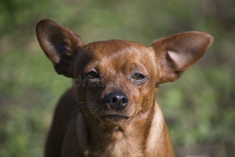 Retrato de un perro enano del Pinscher mientras que toma el sol foto de archivo