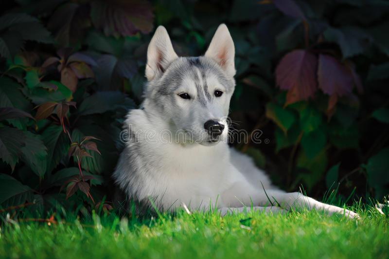 Retrato de un perro esquimal siberiano imágenes de archivo libres de regalías