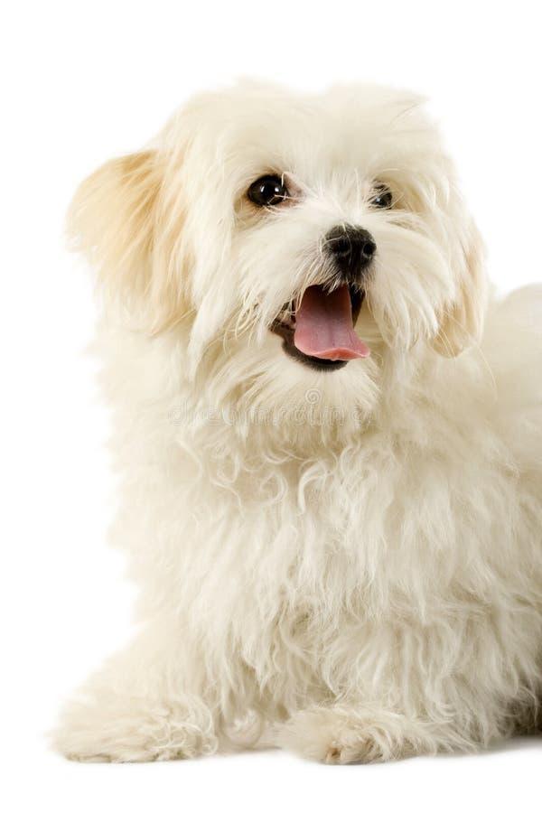 Retrato de un perro havanese fotografía de archivo libre de regalías