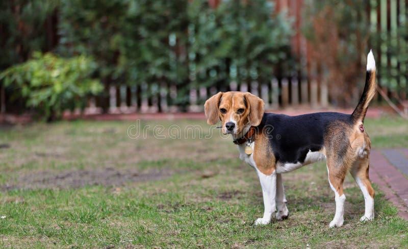 Retrato de un perro hermoso del beagle, amigo de la casa imágenes de archivo libres de regalías