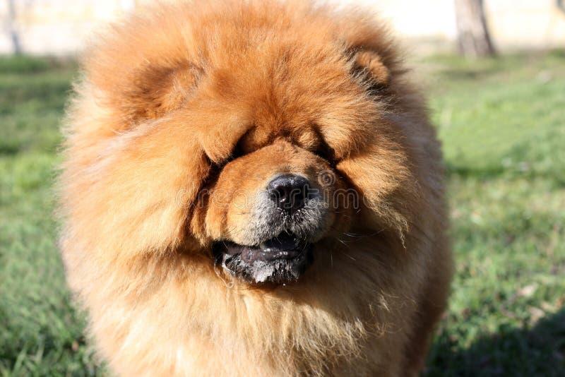 Retrato de un perro hermoso del perro chino de perro chino en el parque imagen de archivo