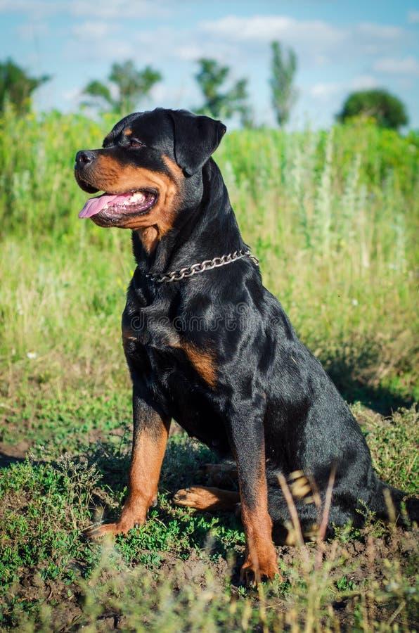 Download Retrato De Un Perro De La Raza Un Rottweiler En Caminar Foto de archivo - Imagen de hermoso, grande: 100527026