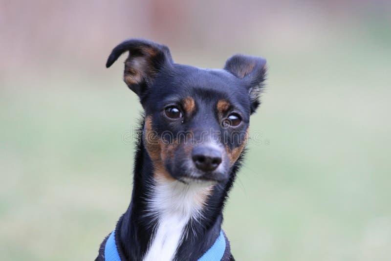 Retrato de un perro lindo, atento en fondo borroso imagen de archivo