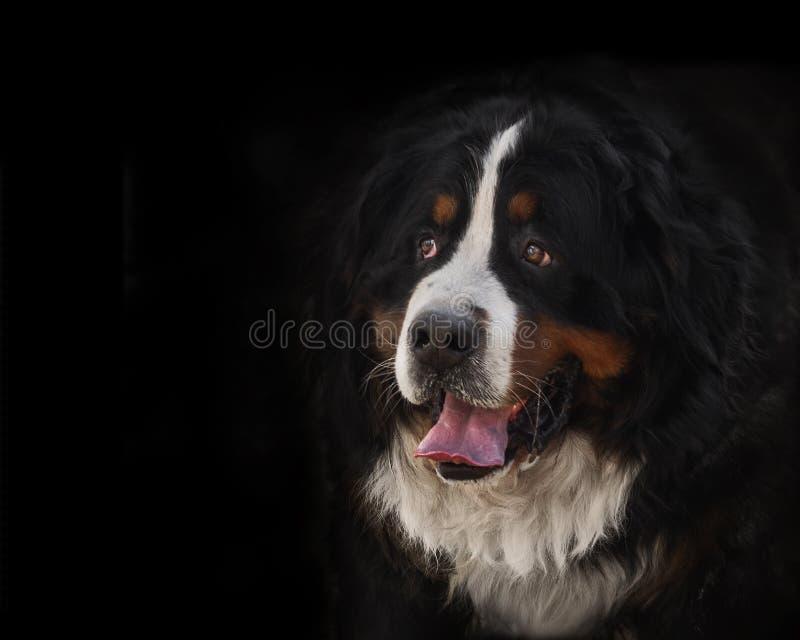 retrato de un perro de montaña bernese criado en línea pura delante de vagos negros foto de archivo