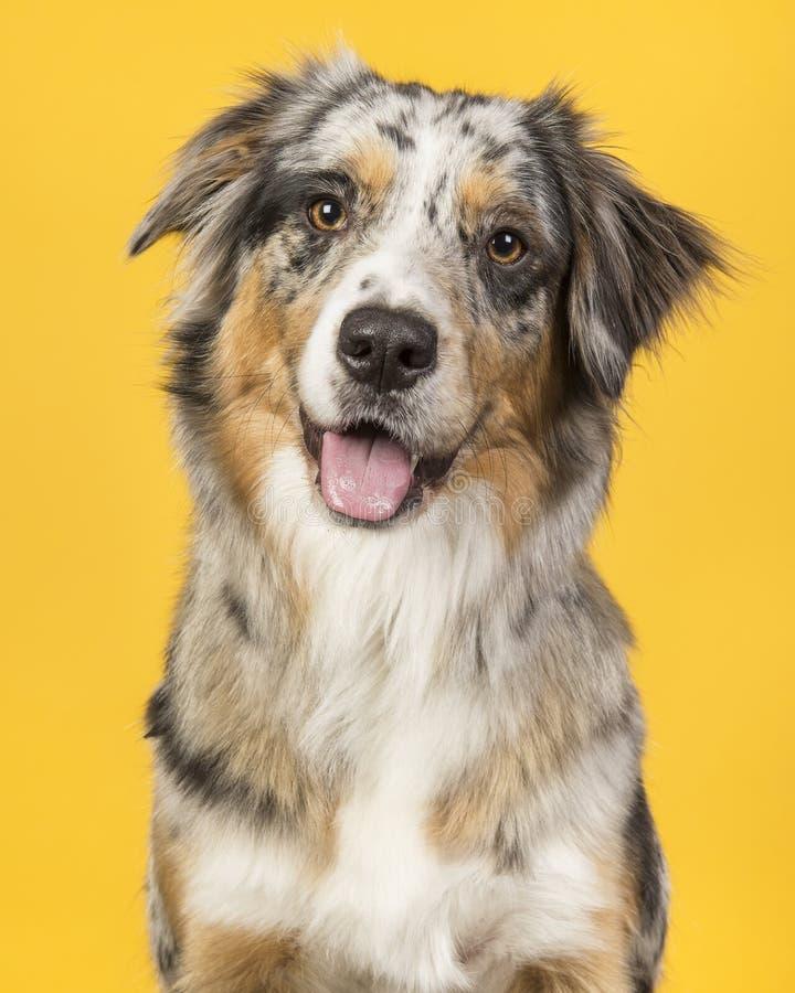Retrato de un perro de pastor australiano en un backgro amarillo imagenes de archivo