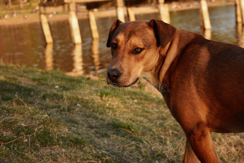 retrato de un perro que camina a lo largo del lago imagen de archivo libre de regalías