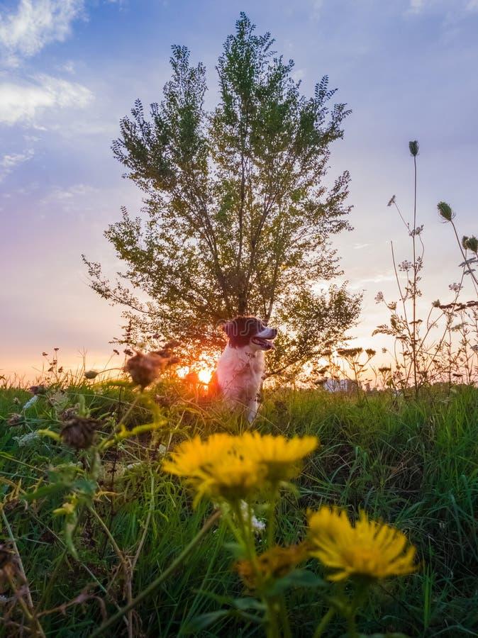 Retrato de un perro que presenta en la naturaleza en un prado de florecimiento del verano sobre un fondo del cielo de la puesta d foto de archivo